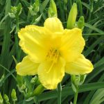 Daylily 'Happy Return'
