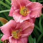 Daylily 'Rosy Returns'