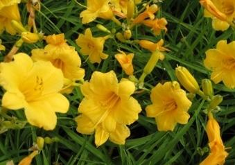 PLANT SPOTLIGHT:  Daylily