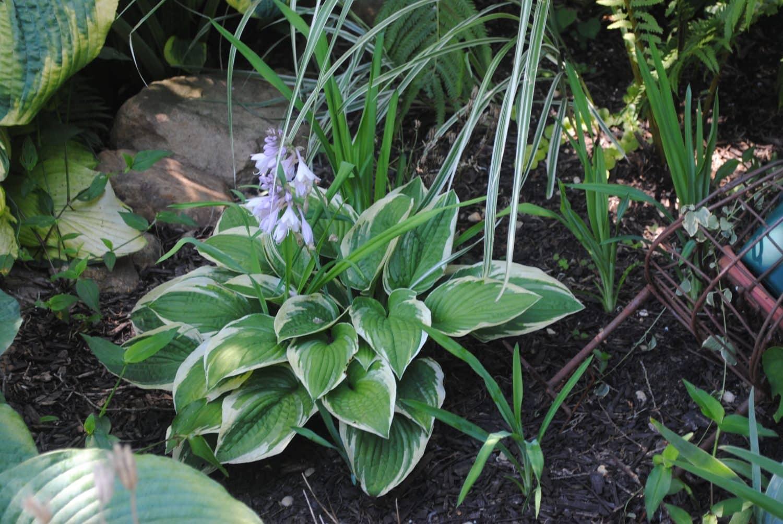 PLANT SPOTLIGHT: Hosta