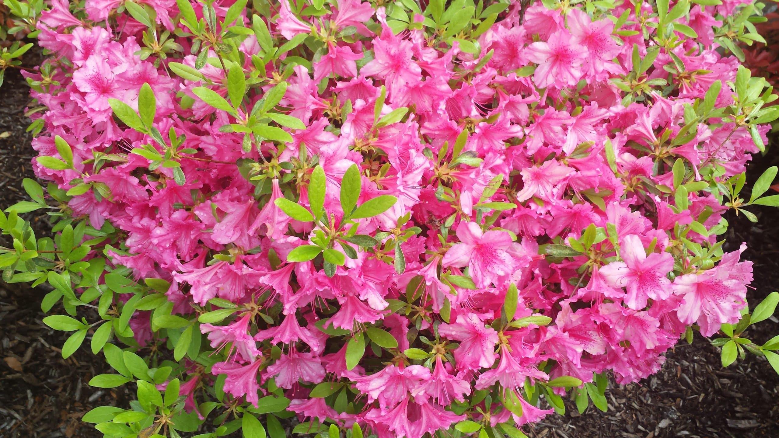 PLANT SPOTLIGHT: Azalea
