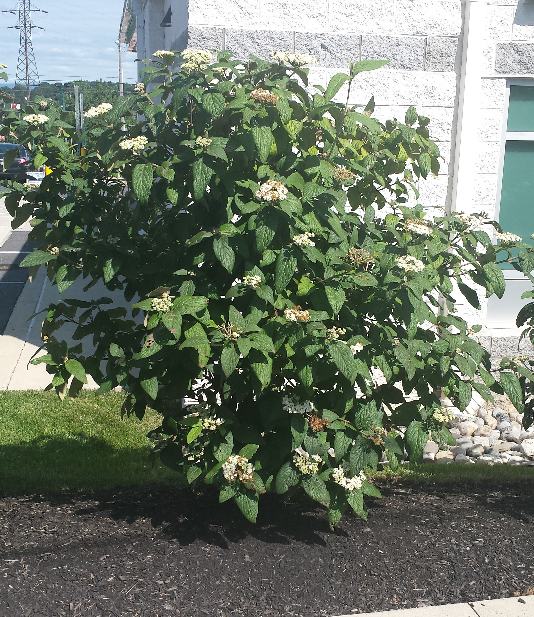 PLANT SPOTLIGHT: Viburnum