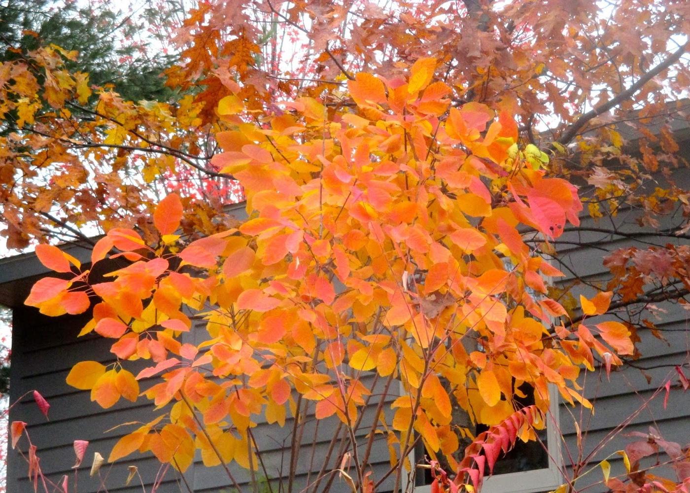 Smokebush fall leaves