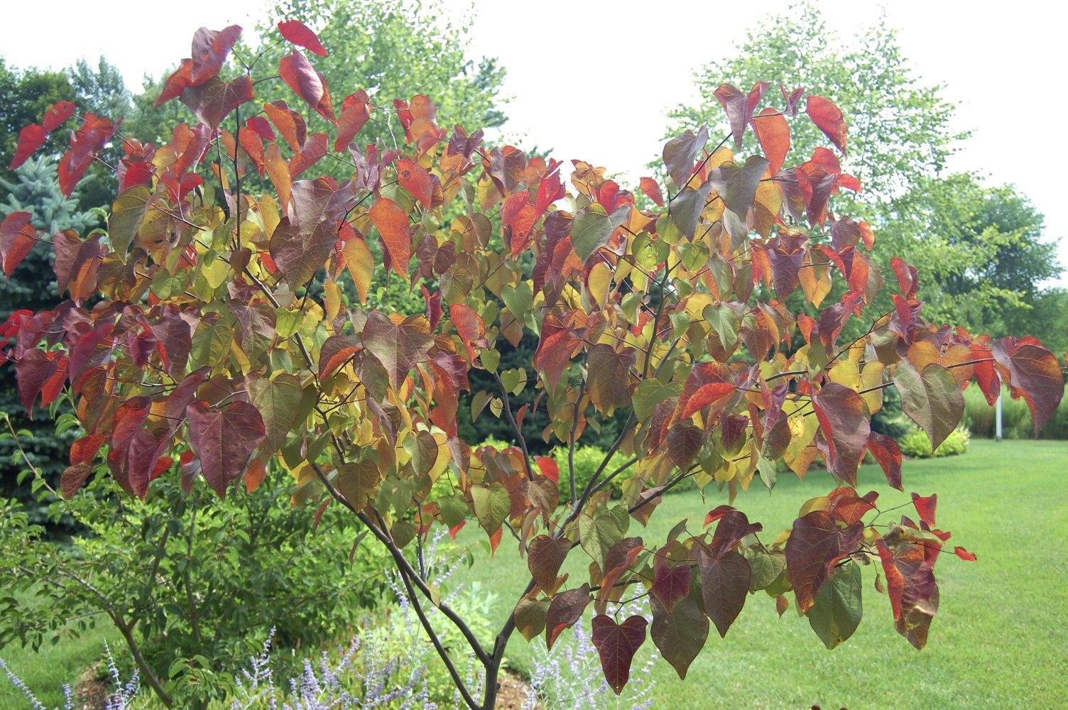 redbud fall foliage