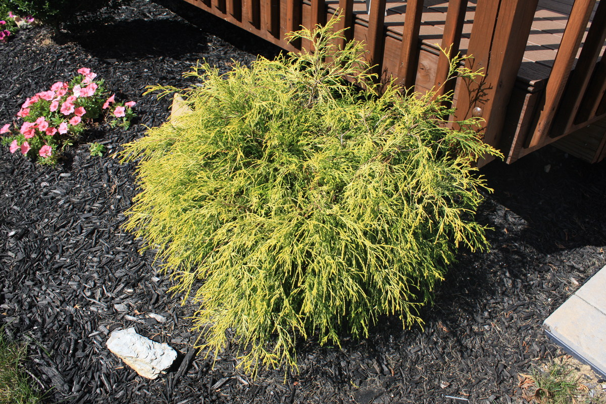 PLANT SPOTLIGHT: Golden Mop Cypress