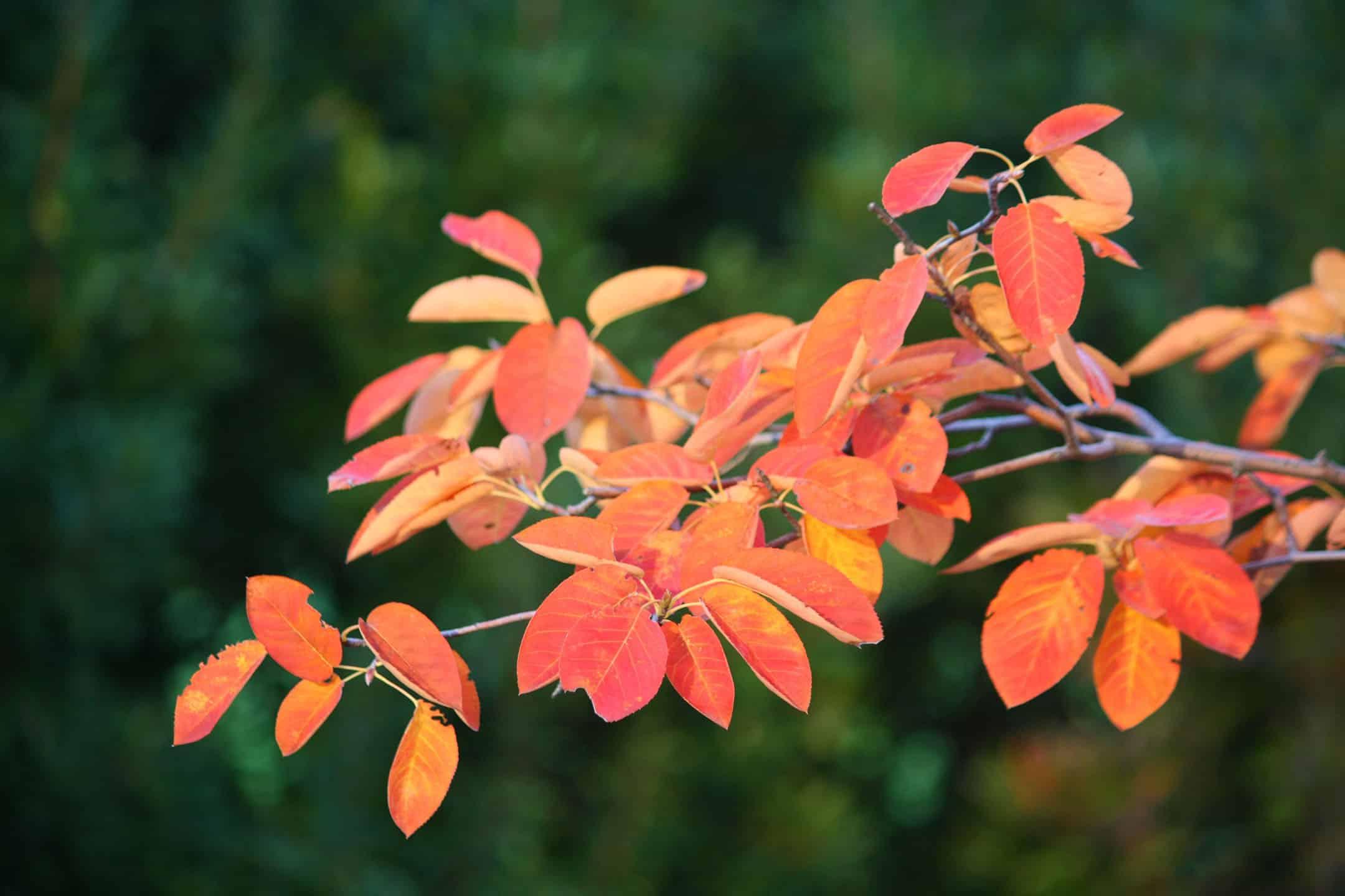 PLANT SPOTLIGHT: AUTUMN BRILLIANCE