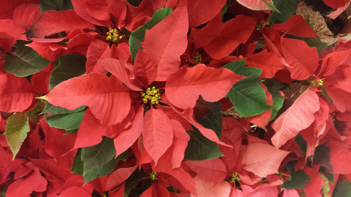 How the Poinsettia Became Known as Christmas Symbol.
