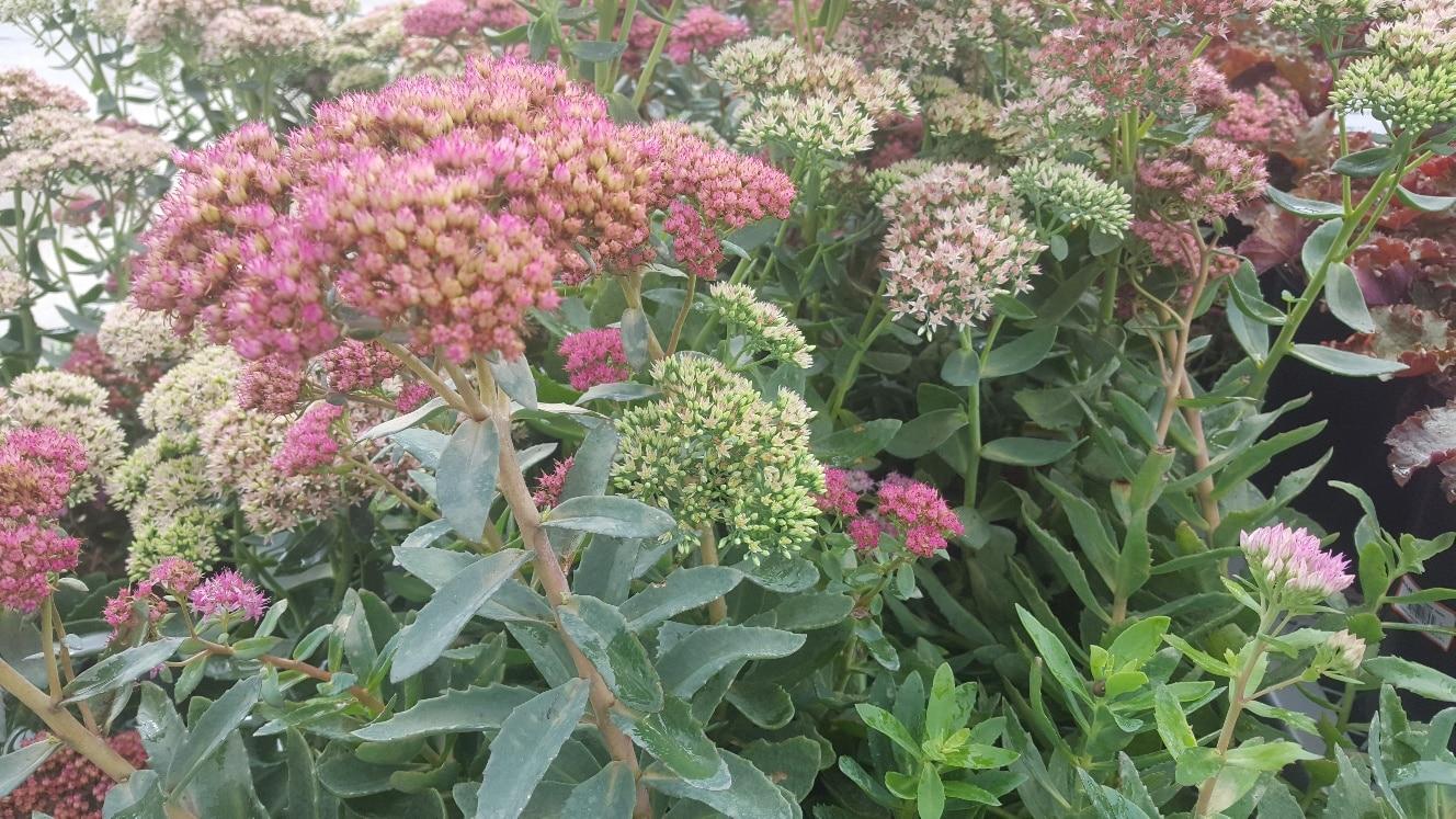 Plant Spotlight: Showy Stonecrop