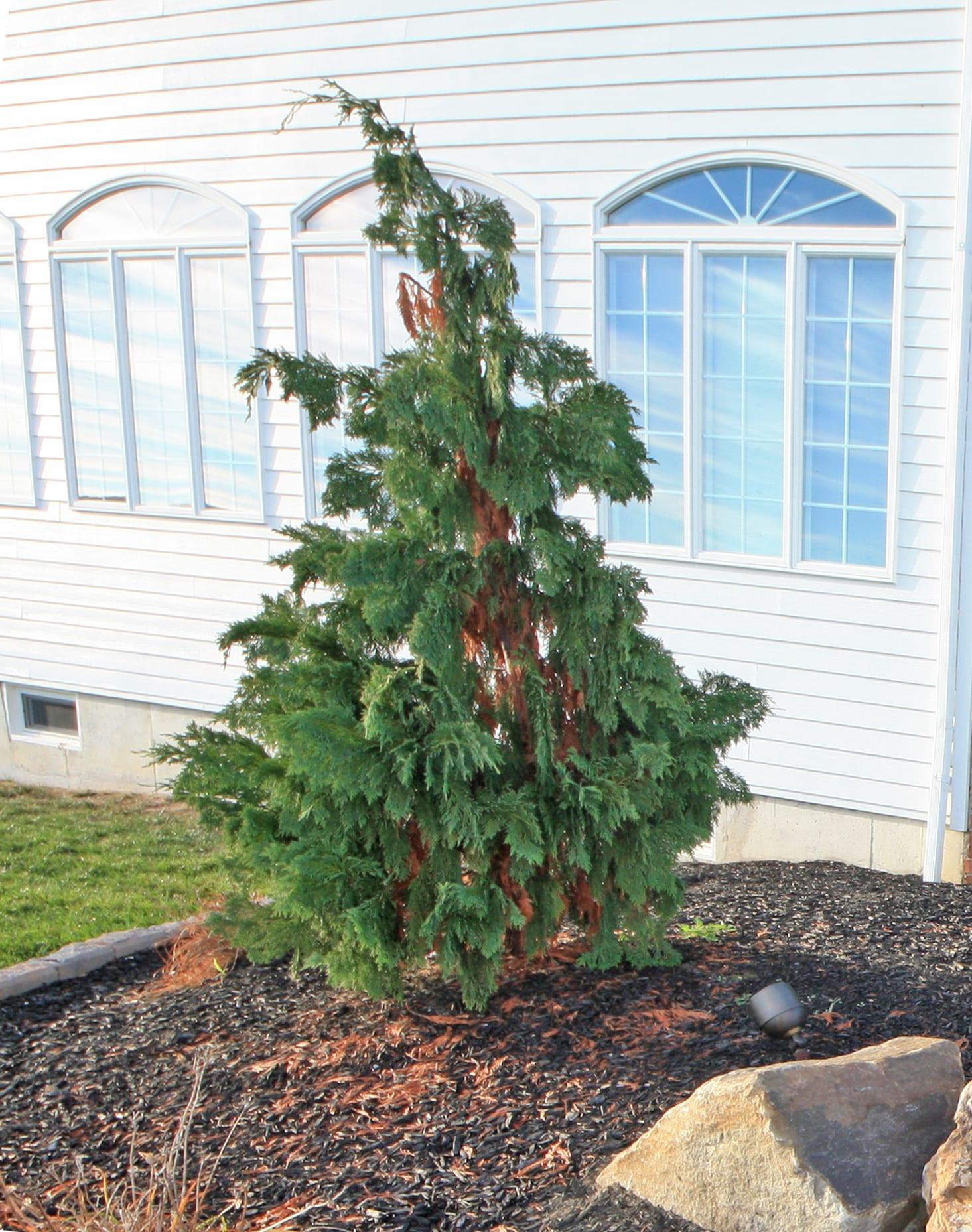 PLANT SPOTLIGHT: Alaskan Weeping Cedar